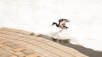 Ducks walk on melting ice. The frozen ice photo