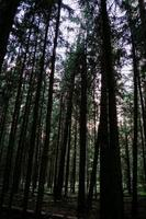 Dark pine forest. Bottom up view of tall trees. Vertical photo