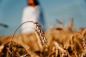 Wheat field. Focus on a mature ear. Woman in white photo