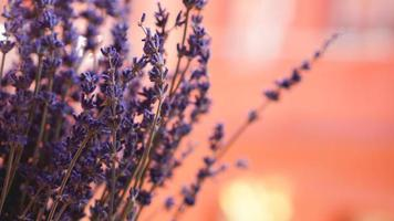 Dried lavender bunches on blurred background photo