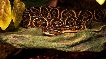 serpiente urutu venenosa mortal. serpiente peligrosa en el zoológico. terrario foto