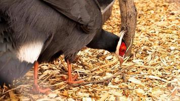 faisán de orejas blancas en una jaula. aves en el zoológico o la granja. foto