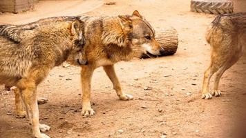 A pack of wolves at the zoo. Wolves in a zoo cage photo