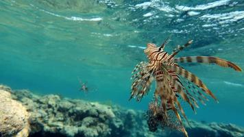 Lion Fish in the Red Sea photo