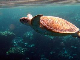 Big Green turtle on the reefs of the Red Sea photo