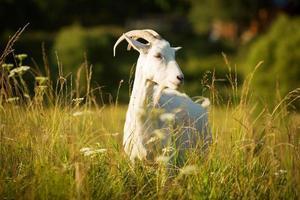 Cabra cornuda blanca pastaba en un prado verde foto