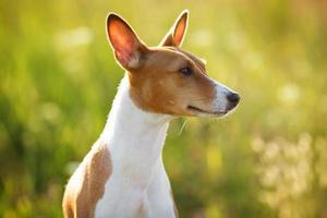 perro de orejas de castaño mirando en algún lugar foto