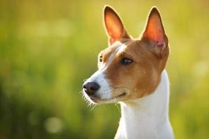 perro de orejas de castaño mira en alguna parte foto