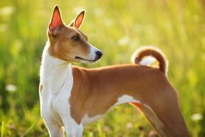 perro de caza de pelo corto mira en alguna parte foto