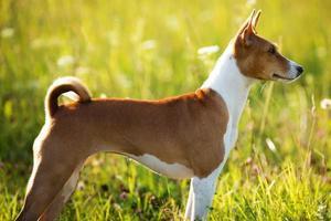 perro rojo de pie y mirando en algún lugar foto