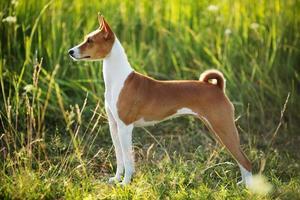 raza de perro de caza basenji foto