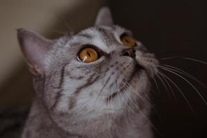 Gray cat sits and looks up photo