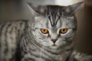 Big gray cat of British breed lies on the floor photo