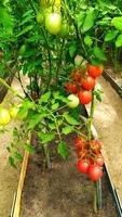 racimos de tomates en invernadero. tomates rojos maduros cuelgan foto