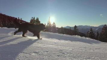 Bergamasco shepherd dog runs along the ski slope video