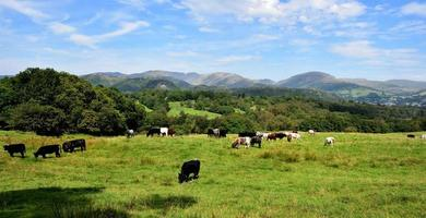Pedigree cattle in the sunshine photo