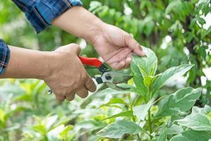 Asian gardener Pruning shears to cut branches Hobby home garden. photo