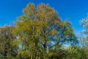 Allergy-causing plant components from birch and willow photo