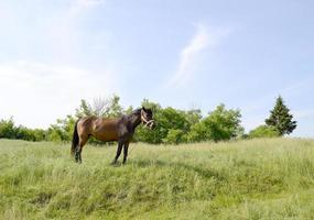 Hermoso semental de caballo marrón salvaje en la pradera de flores de verano foto