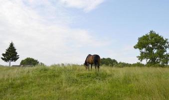 Beautiful wild brown horse stallion on summer flower meadow photo