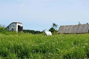 Cabra pequeña blanca con cuernos mirando en la hierba verde foto
