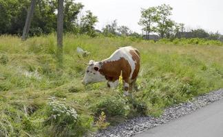 Hermosa vaca lechera grande pasta en prado verde foto