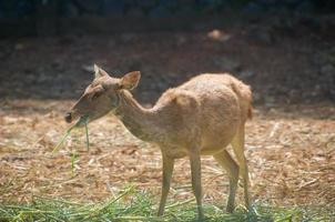Skinny deer are eating alone in the grass photo