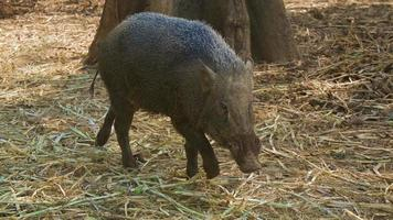 Wild boar sightings in the nature photo