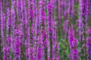 Glade with purple flowers. Nature and plants. photo