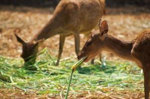 Two medium asian deer is eating in the field photo