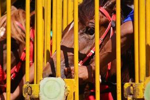 caballos de carreras listos para correr en la puerta foto