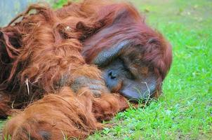 Orangutan lying on grass photo