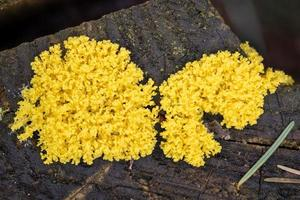 Close up of the yellow tufted fuligo septica on a rotting tree trunk photo