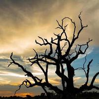 silhouette dead tree with sunset background photo
