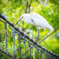 white Snowy Egret on iron bridge photo
