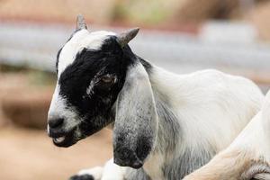 lindo de cabra descansando sobre la roca foto