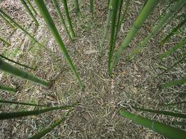 perspectiva del árbol de bambú foto
