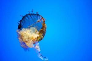 medusas naranja en tanque azul. foto