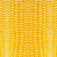 Patrón de naturaleza de maíz amarillo, fondo vegetal abstracto foto