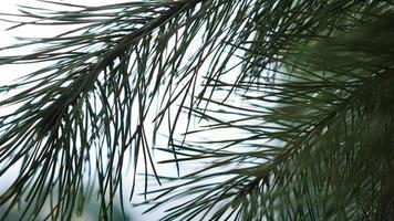 ramas de abeto fresco sobre fondo claro borroso. foto