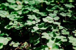 Green clover field. Natural leaves in the forest photo