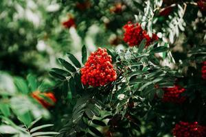 Racimos de bayas de serbal rojo entre hojas verdes foto