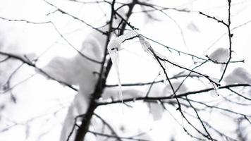 The branch is covered by snow. A thin ice layer. Soft illumination photo