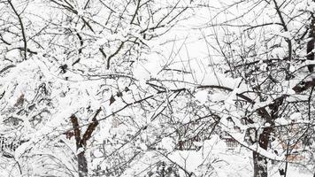 Ramas de manzano joven bajo la nieve en la soleada mañana helada foto