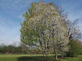Prunus cerezo sobre cielo azul foto