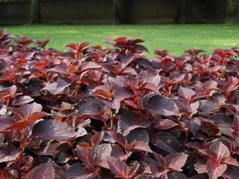 planta de ortiga coleus foto