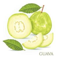 Guava is a green fruit with a sweet and crispy taste vector