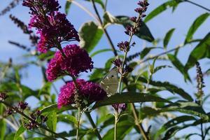 Pieris brassicae white butterfly photo