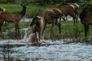 Elk Splashing in River photo