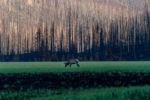 Elk Grazing in Colorado Burn Area photo